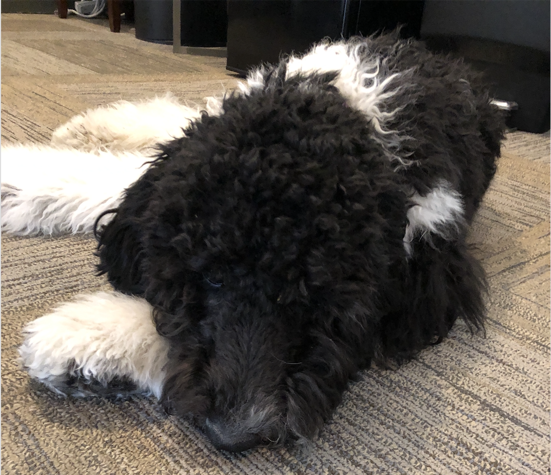 Office Dog, Office pup